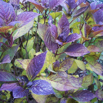 PurpleLeaves