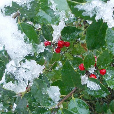 SnowHolly