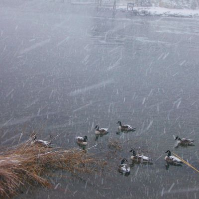 SnowyGeese
